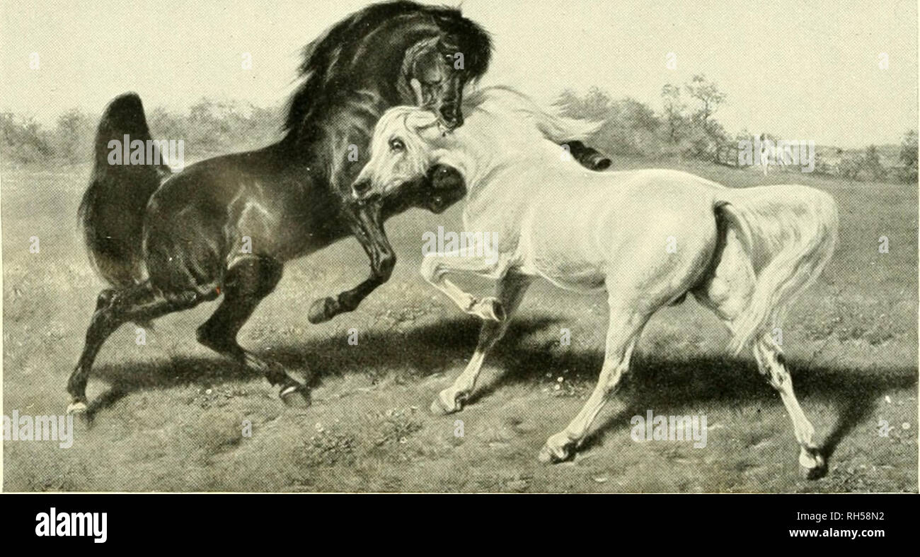 ". Brehms Tierleben. Allgemeine kunde des Tierreichs. Zoology; Animal behavior. 4. Spanilchcs Pferd. Nach uiiu-iTi Kupft-rsticti vom Joti. Elias Riilinge. 5. flrabilchcs Pferd (Zrocikampf .öodolphin flrabian' — .Hobgoblin'). S. 688/89. — Nach dem Stahlstich ""The Diicl"" von Joseph B. Pratt (Verlag von L. H. Lefevre-London) auf Grund eines Oenilildes der Rosa Bonheur.. Please note that these images are extracted from scanned page images that may have been digitally enhanced for readability - coloration and appearance of these illustrations may not perfectly resemble the original work.. Brehm - Stock Image"