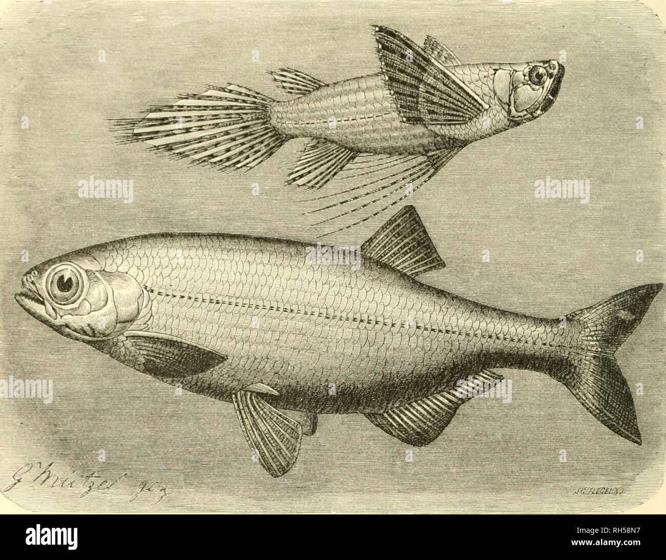 . Brehms Tierleben; allgemeine kunde des thierreichs. Mit 1910 abbildungen im text, 11 karten und 180 tafeln in farbendruck und holzschnitt.. Zoology; Animal behavior; Zoologia Geral. 364 Sierte Crbming: (rbelfifd^e; eimtnb^rcatijicifte jvamilie: .?fnocfjenjüin^Ier. Sotuie ein ^ifd) fid; fclien liiijt, roirb ein Qcd)cn GCijebcn. (^cräufdjloS fäljrt ba5 Gorial mit bcin bcftcu £d)ü^cn hvi auf ©djufnucitc I)inan; bcr ^^fcil fliet^t noii bcr Se[)ne unb iicr[d)uiinbct mit bcm S'ifd)e. ^cM bcijiuiit bic alli^ciiieiue 3acjb. iliuim taud^t bie ^aljiic bciS '^>fcile;3 über bem äiniffer au, fo finb Stock Photo