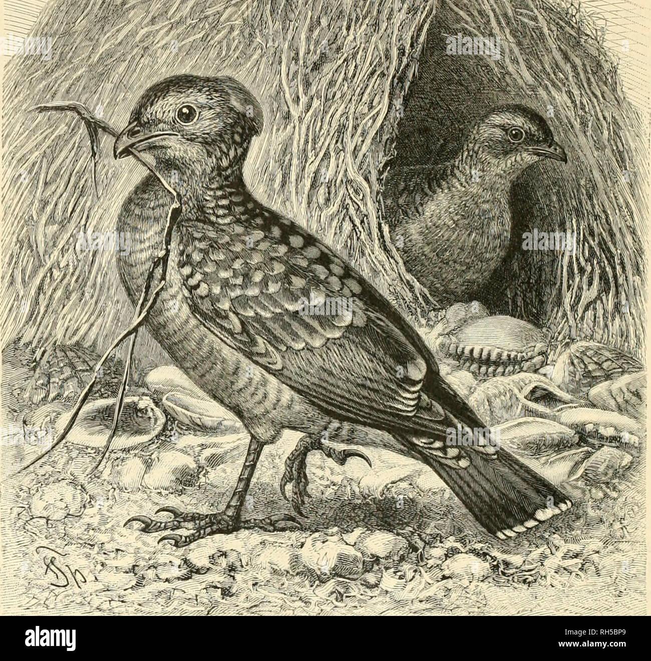 . Brehms Tierleben. Allgemeine kunde des Tierreichs. Zoology; Animal behavior. R*' 'r,.. , '1 W'/4/fti >v. --{---'-' r- - ilfag enu ogi'I, Chlaniydera niaculafri Gonltl. ^/2 natiii'Iic^ev Oiiöjie. an bem 9.1'cenfd)en, fonbern aud) an einer ungebeuern fdimargen ödjlange, bie natje bem SSaffer ebenfalls auf ber Sauer lag, norüberflogen, um 3U trinfen. Später entbcdte ®oulb aud) il)re Sanbcn. 3^icfe bi'Jmcilen über 1 m langen Stauten finben fidj an äl)nlidien £rten, finb nod) fuuftboller unb nod) mctjr au'Sgefdimüdt, länger unb bogiger afö bie beg ©eibenlaubenbogeKi, beftel)en äufierüdi an§ 9? - Stock Image