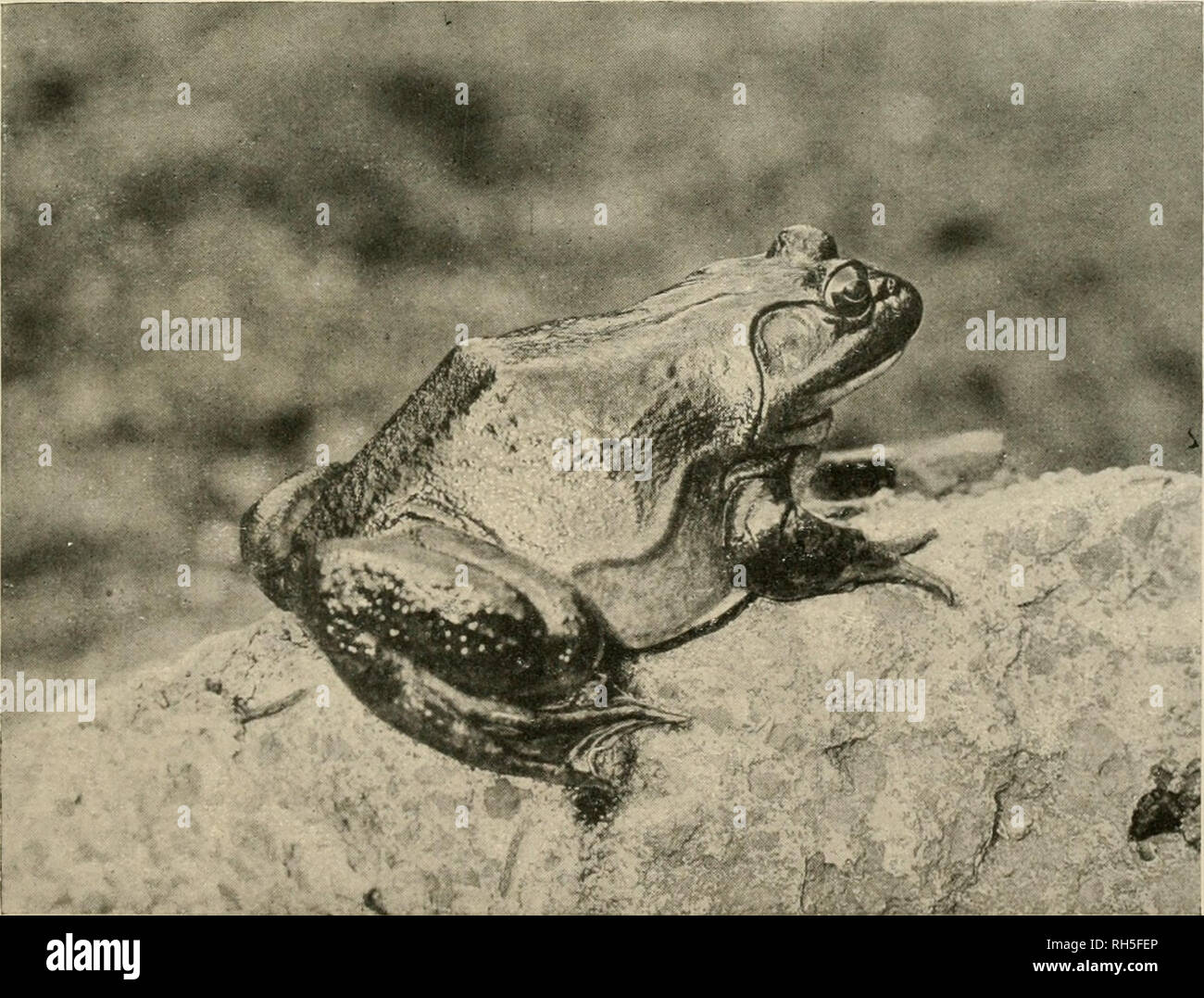 . Brehms Tierleben : allgemeine Kunde des Tierreichs . ; . I. Tigerfrosch, Rana tigrina Daitd. ^•2 nat. Gr., s. S. 311. - W. S. Berridge, F. Z. S.-London phot.. 2. Ochsenfrosch, Rana catesbj'ana Shaw. Va nat. Gr., 8.5.3(16. - Tlie Sctiolastic Photographic Co.-London phot.. Please note that these images are extracted from scanned page images that may have been digitally enhanced for readability - coloration and appearance of these illustrations may not perfectly resemble the original work.. Brehm, Alfred Edmund, 1829-1884; havior. Stock Photo