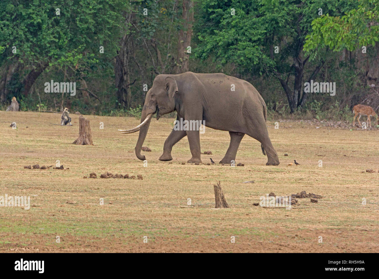 Large Male Elephant along the Kabini River in Nagarhole
