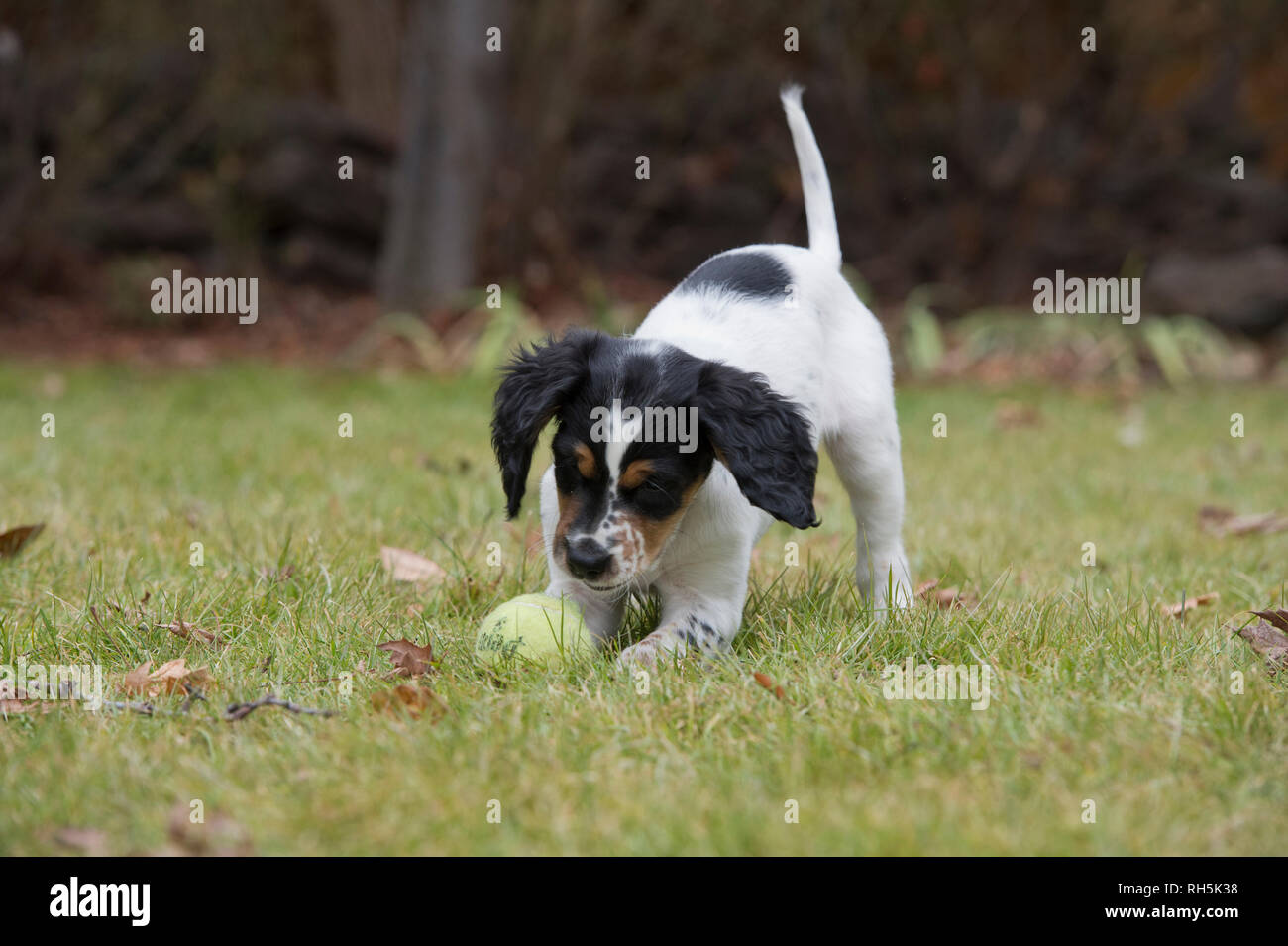 Eight-week-old English setter puppy playing with tennis ball - Stock Image