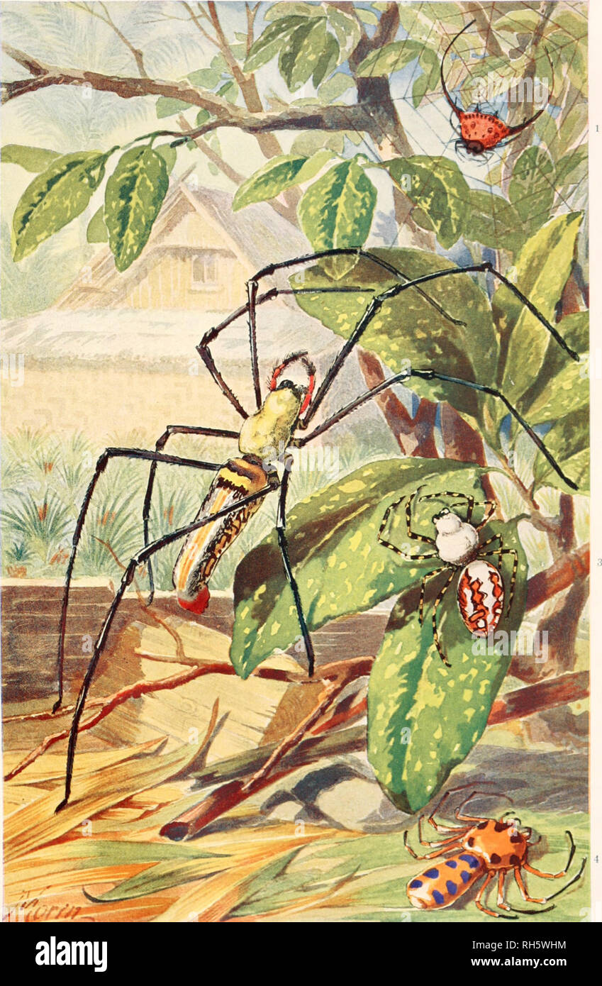 . Brehms Tierleben. Allgemeine kunde des Tierreichs. Zoology; Animal behavior. Jauanilchc Spinnen. 1) Gasteracantha arcuata F, — 2) Nephila maculata F. (Dahl) — 3) Nephila aniipodiana Walk, (junc}) 4) Platythomisus octomaculatus Koch.. Please note that these images are extracted from scanned page images that may have been digitally enhanced for readability - coloration and appearance of these illustrations may not perfectly resemble the original work.. Brehm, Alfred Edmund, 1829-1884; Bibliographisches Institut Leipzig; Zur Strassen, Otto L. , 1869-; Heck, Ludwig, 1860-; Hempelmann, Friedrich, - Stock Image