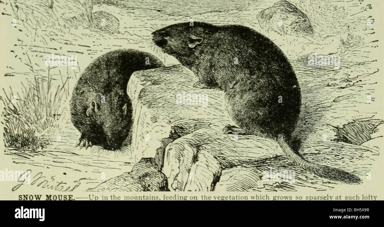 """. Brehm's Life of animals : a complete natural history for popular home instruction and for the use of schools. Mammalia. Mammals; Animal behavior. """"-- .V'-^,; THE MUSKRAT. Among the Vole family of Rodents the most useful is the Muskrat, the American animal shown in the picture. The fur is very much sought after and is one of the warmest and softest. Muskrats live in burrows near the water's edge for their food consists of aquatic plants. (Fiber tibethieus.) the fur on account of the odor of musk which clings to it for a long time, it is often used for trimming clothing, or in the manufac - Stock Image"""