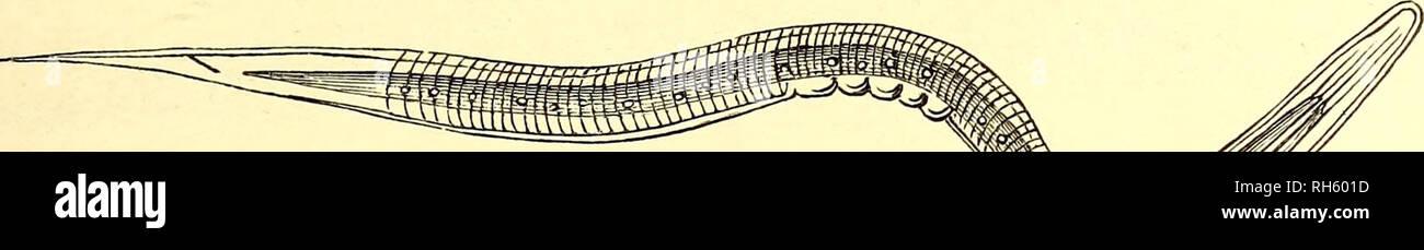 . Brehms Tierleben : allgemeine Kunde des Tierreichs : mit 1800 Abbildungen im Text, 9 Karten und 180 Tafeln in Farbendruck und Holzschnitt. Zoology; Animal behavior. 5Ueifter*©ffigältfjert. Pellodera papillosa. 153 SBefen fetjen glaubt; eS ftnb nur bie §erumfimmettben igautf Mette. SDie @ffig- mutter in ben fogenannten ©fftgbilbnern enthält jebod) heute noch alle (SntwtcfelungS: ftufen ber ©ffigälchen in groger Sflenge. Qm SUeifter, welker burch lochen t>on reinem (Stärfemerjt bereitet ift, ^at mir bie 3ucht öer äld^en nie gelingen wollen, ein 3ufa£ t)on Seim, überhaupt einer fticfftofffal - Stock Image