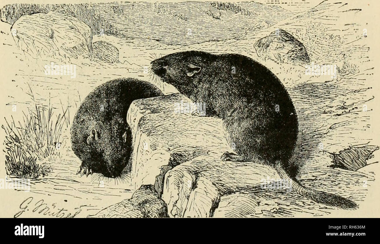 . Brehm's Life of animals : a complete natural history for popular home instruction and for the use of schools. Mammals; Animal behavior. THE MUSKRAT. Among the Vole family of Rodeuts the most useful is the Muskrat, the American animal shown in the picture. The fur is very much sought after and is one of the warmest and softest. Muskrats live in burrows near the water's edge for their food consists of aquatic plants. (Fiber zibethicus.) the fur on account of the odor of musk which clings to it for a long time, it is often used for trimming clothing, or in the manufacture of collars and muffs,  - Stock Image