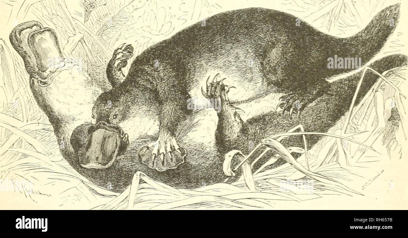 . Brehms Thierleben : Allgemeine Kunde des Thierreichs. Animal behavior; Zoology. ©d)iia6eft(}iev: @efd}id)t(id)c3. 2Scib;eituii>3. 611 SSadeii^a'^n cricf)eint. S)ie Tiaientöd)cr liegen in ber C6crf(äci)e beö Schnabels, no^e an leinem (fnbc, bie fleineu Singen l)od) im .fiopfe, bie öevirf)lieB&aven Dtjiünnungen naljc am äußern yiugcntoinfel. Sene^yalte, ti)eld)c öom Schnabel aus tuie einSc{)ilb über benSSorberfopf nnb bie.Ue^lc fällt, i[t bem Xijitxt Don großem 'Jin^en, ttjeil fic beim Jutterjnc^en bcn Schlamm öom onftoßenbcn '4>etic ab{)ält unb beim (Kraben in ber Grbc bie Singen jd - Stock Image