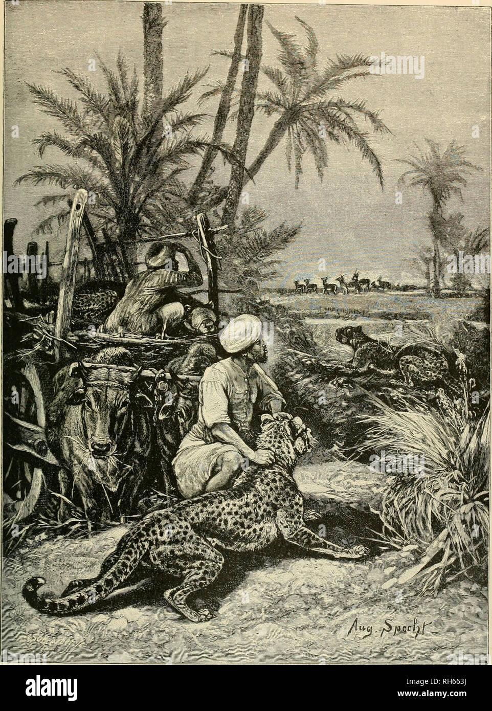 Cheetah Hunting India Stock Photos & Cheetah Hunting India