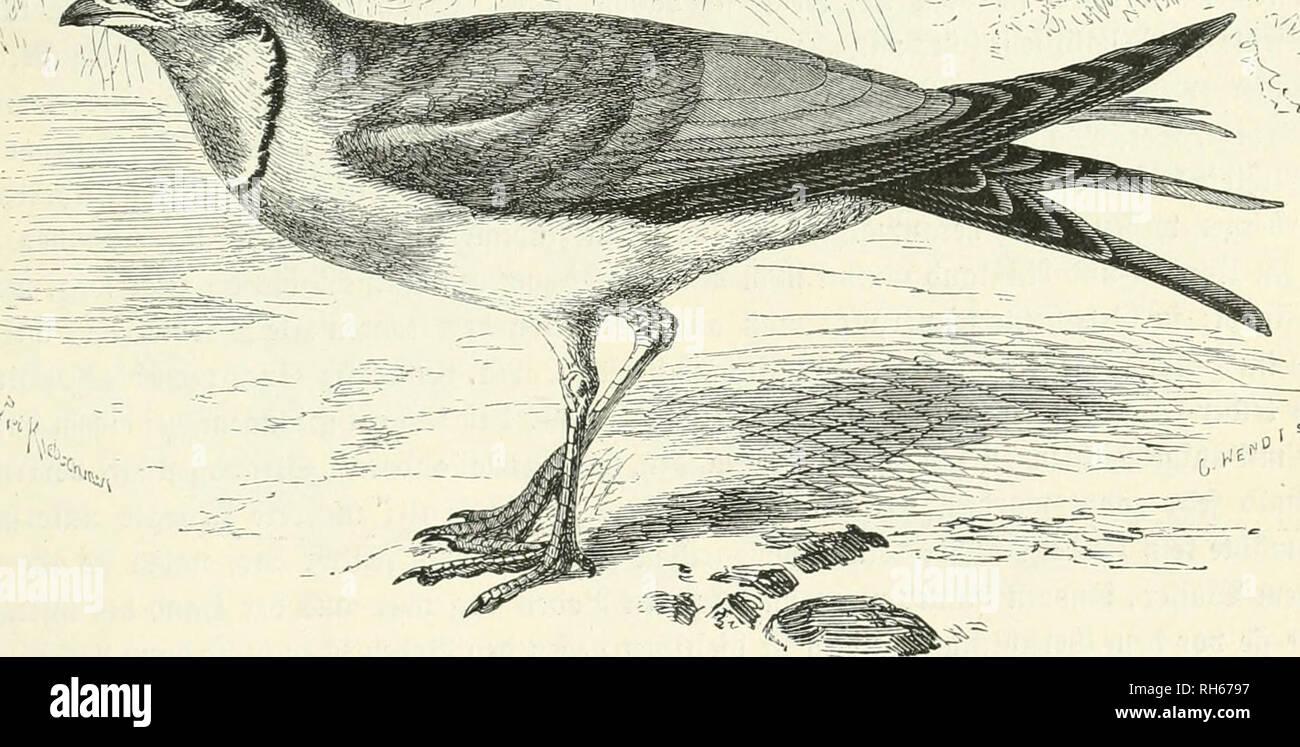 """. Brehms Thierleben : Allgemeine Kunde des Thierreichs. Animal behavior; Zoology.   —-' ==.^cm. ^tnd)f4n)at6c (Glareola pratincola). Va imtütl. ©t'uüe- einem ber .§atme feftfi^t. ^eitroeitig bilben ^eufcEireden faft augfd)lie^tid) i^re 5Zaü)rung. 9iafd) tierfd)lingt ber 33ogeI ein folc^eS ,^erbtt)ier, unb bie 3}erbauung beäfelben gefc^iet)t fo munberbar fd)ncH, ba^ nac^ :^öd)ften§ 3ef)n ^JJtinuten bie Otefte beg beim 2)urd)gange burc^ ben S)armfd)taud) gteid)fam au§gc))re§ten ^erfe§ bereite inieber abgeben unb fo in fürjefter grift bie 33erti(gung einer ert)eblid)en ^(nja^l be§ gefür(^teten """" Stock Photo"""