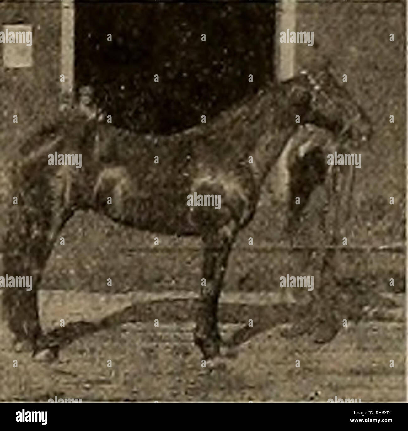 Breeder and sportsman  Horses  M00RM0NT 44996 By Azmoor 2:20% (sire