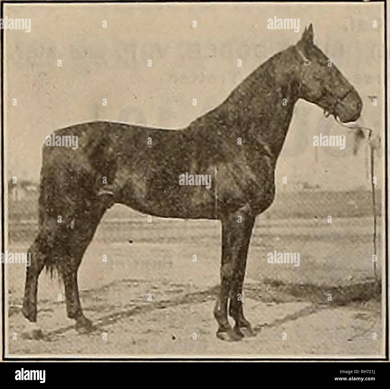 . Breeder and sportsman. Horses. MOKO HALL 2:11. Son of Walnut; Hall 2:081-4 Winner of (he Kentucky Futurity for Two-year- olds, and sire of The Harvester 2:01 The World's Champion Trotting' Stallion. Martha Tipton 2:09!.,. Warner Hall (1) 2:0«>w, O'NeU 2-.0TA. etc. The dam of MOKO HALL was by the most fashionable sire of trotters in the United States today, and that horse is MOKO. MOKO HALL is bred in the top crosses just like The Harvester, who was also by Walnut Hall, out of a mare by Moko, the sire of 104 in 2:30, including such stake winners as Fereno 2:05%, Tenara 2:05%, Native Belle  - Stock Image