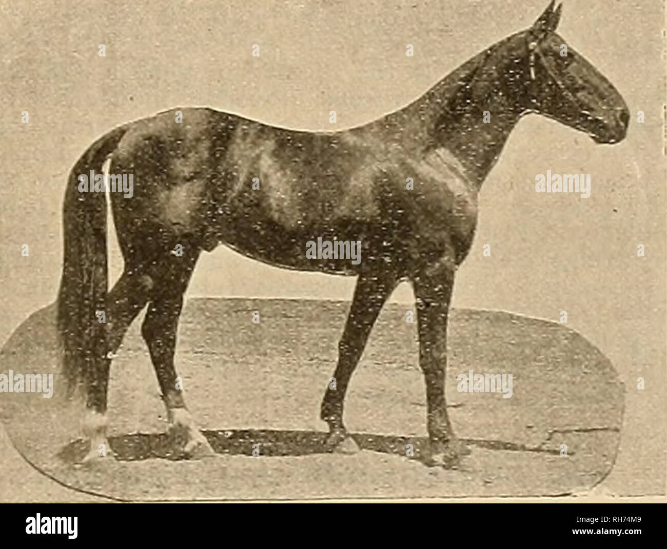 . Breeder and sportsman. Horses. October 7, 1905; ©Jte gzeebev cuts gtjxcurrsman 2.09V» and 2:10%. Lady Mowry was fifth in the sum- nary of this event, in which there were ten start- rs. Dan Patch paced a great mile in an effort to beat his record. He just equalled his previous mark of 1:56, the quarters being- 0:29%, 0:58%, 1:27%. 1:56. the Lxington track is not considered as fast as the track at Memphis, where he made his record last year, horsemen think he is a faster horse this season than ever before in his life. The summaries of the race follow: Pacing, futurity, for three-year-olds, p - Stock Image