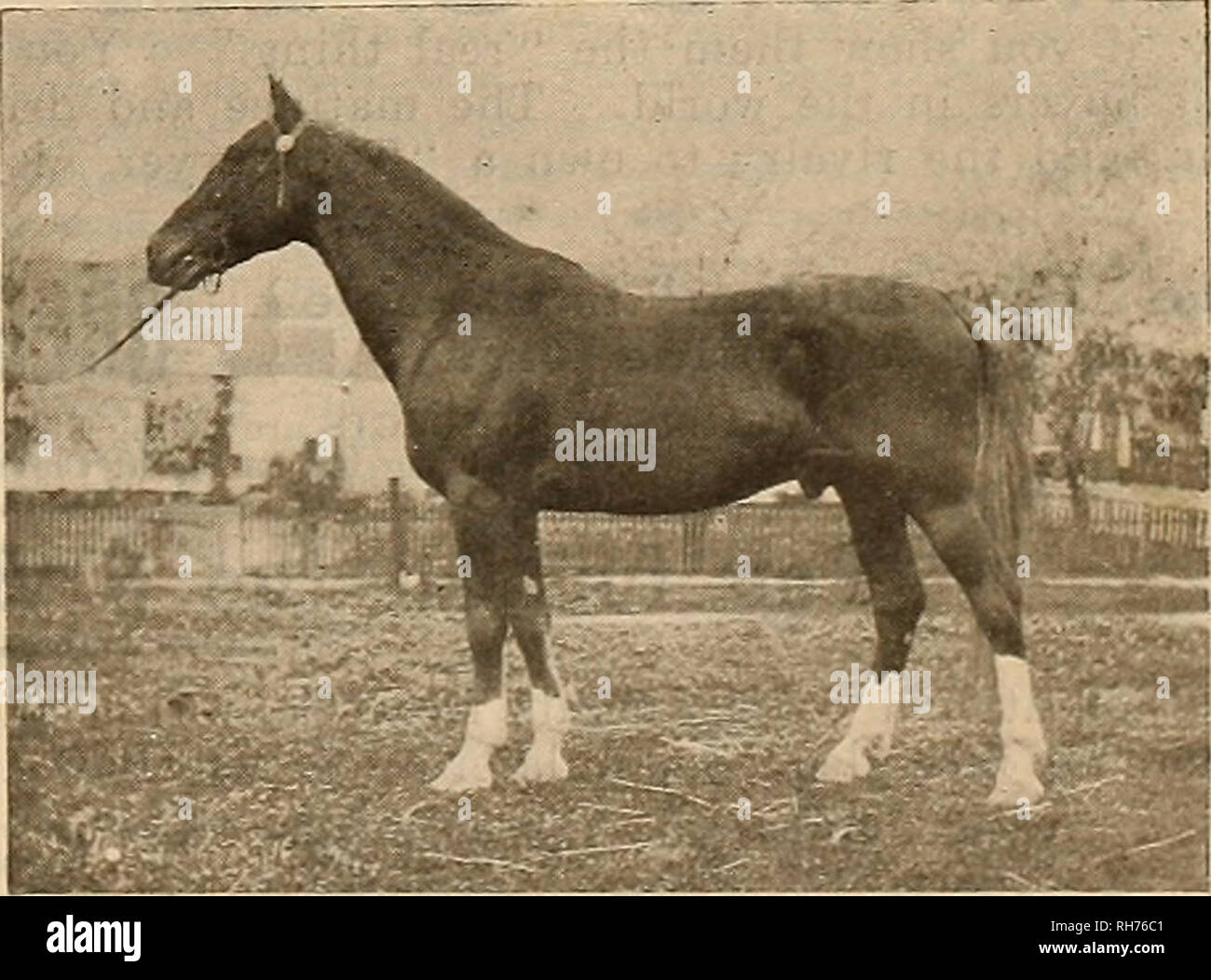 . Breeder and sportsman. Horses. STAH B. 2:11 1-* MONTEREY 2:09 1-4 SNAP SHOTS AT HAYWARDS HORSE SHOW.. Please note that these images are extracted from scanned page images that may have been digitally enhanced for readability - coloration and appearance of these illustrations may not perfectly resemble the original work.. San Francisco, Calif. : [s. n. ] - Stock Image