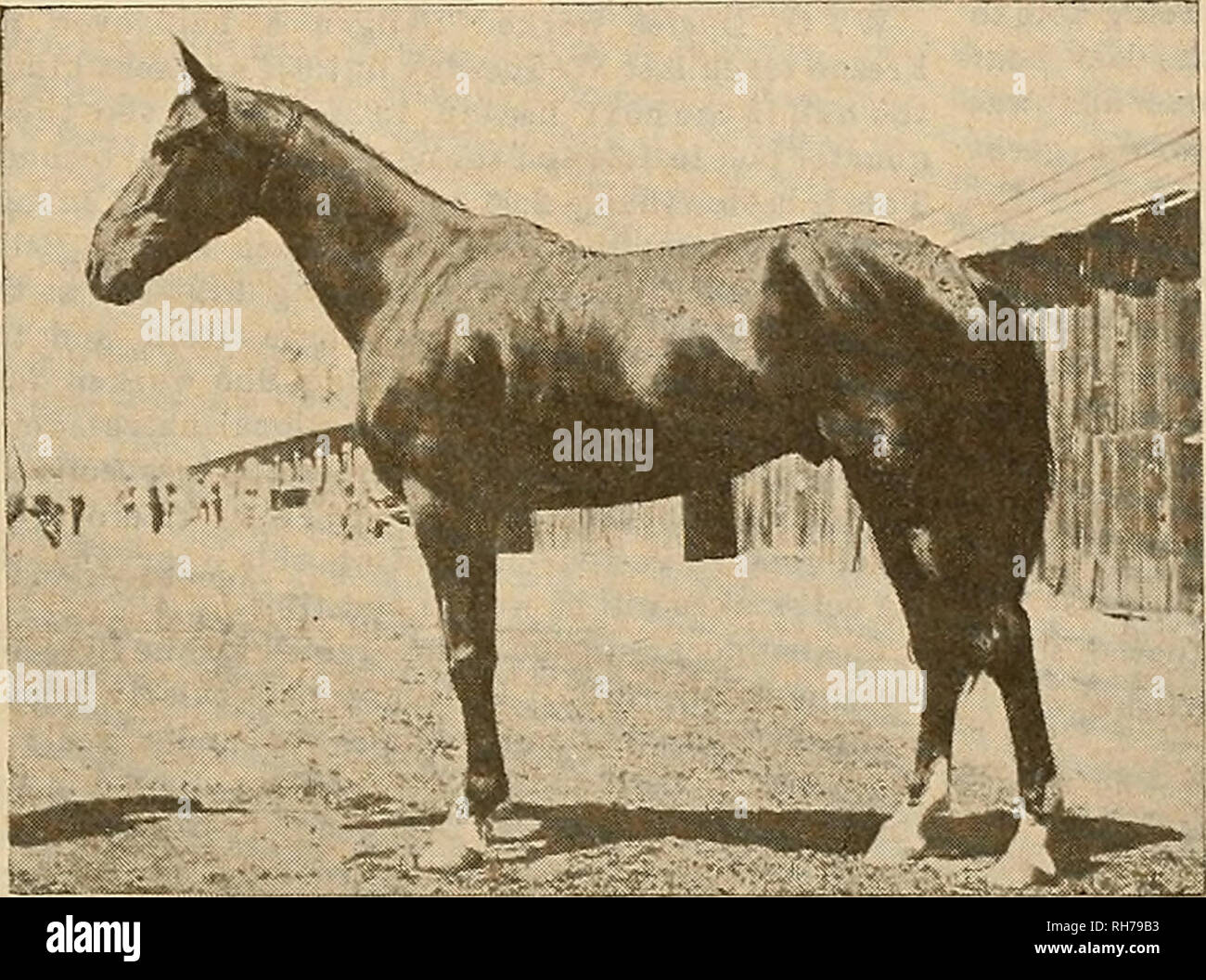 . Breeder and sportsman. Horses. July 22, 1905] mxc gvesbev unfc ^povtsman b The horseB bred by the Occidental Land and Im- provement Company of Sharon, Cal., are large, band- some, sound and serviceable. A consignment of thirty of them will be sold by-Fred H. Chase & Co. at 1732 Market street next Monday evening. Rosalind by Stam B. now carries a reoord of 2:21}, made in a winning race at Pueblo, Colorado. It la said that Stanley Dillon 2:07$ will not be a member of Ed Geers' string after the close of the Detroit meeting next week. B. S. Dillon started twice at the New HaveD, Con- necticu - Stock Image