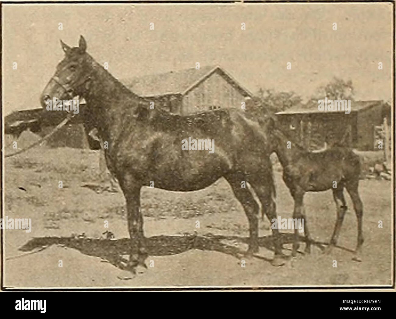Breeder and sportsman  Horses  Two-Year-Old Brother to Sweet Marie