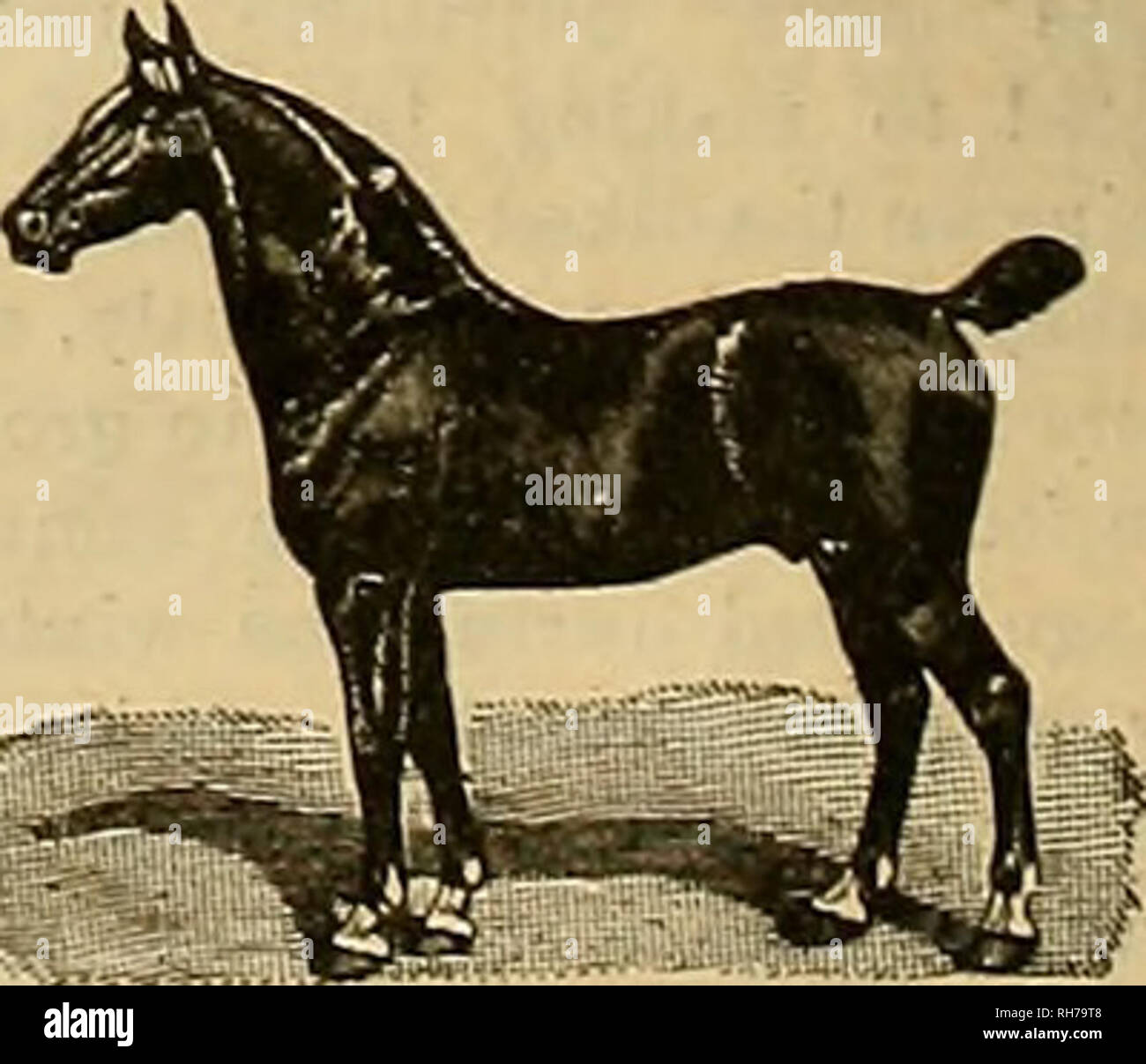 . Breeder and sportsman. Horses. 12 ®*w f$xeci>ev ani> ^povisntan _3VLY 15. 1906 The Scrub Must Go. The Stod-mun and Farmer for nearly a quarter of a . entury has been trying to tell its readers the advantages to be gained by breeding op their live clock. There was a time when the margin between the price of good cattle and scrubB was not ao great as now. There are yet some ' stock and uBe only the best femaleB and pure bred males for breeding purposes. It pays to do so now, and each succeeding year it will pay bigger. The dogy has had bis day. The Swine Industry. One of the great indus - Stock Image