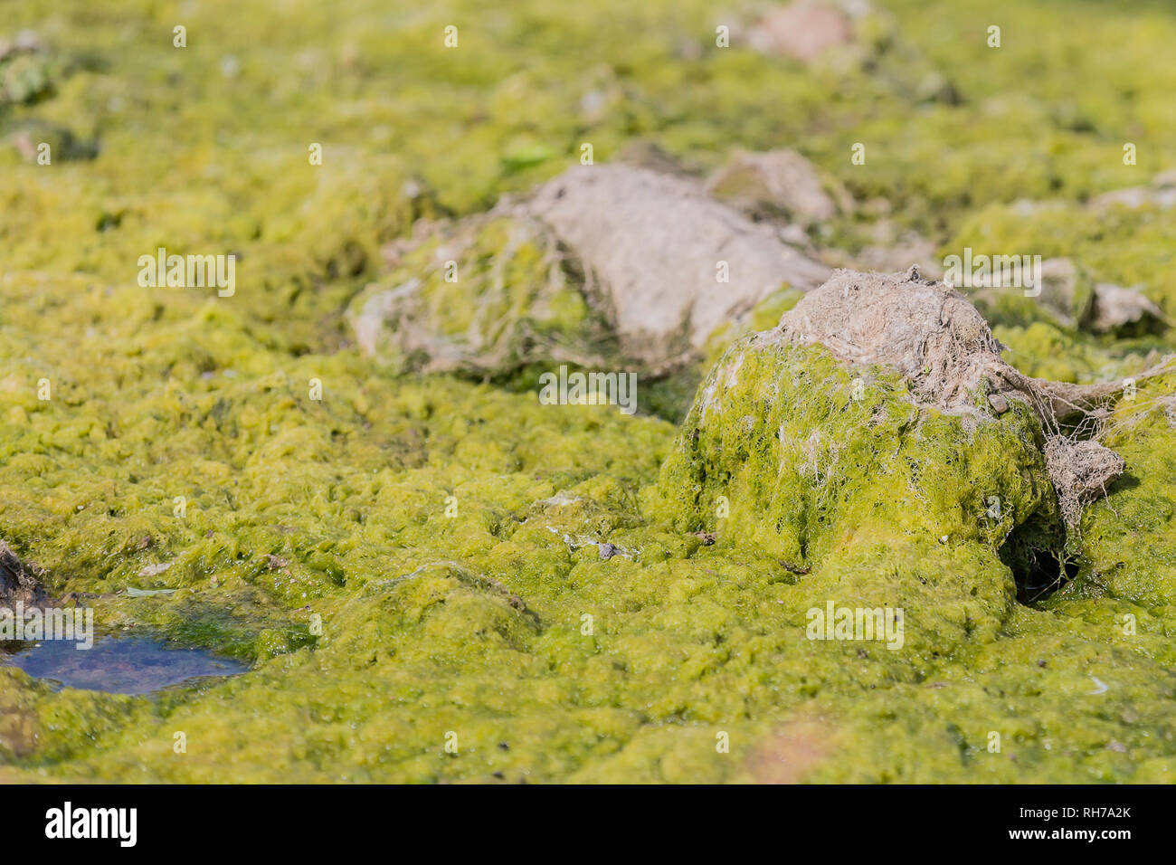 image of standing water with algae bloom on the surface of the water surrounding a stone in a river on a sunny day - Stock Image