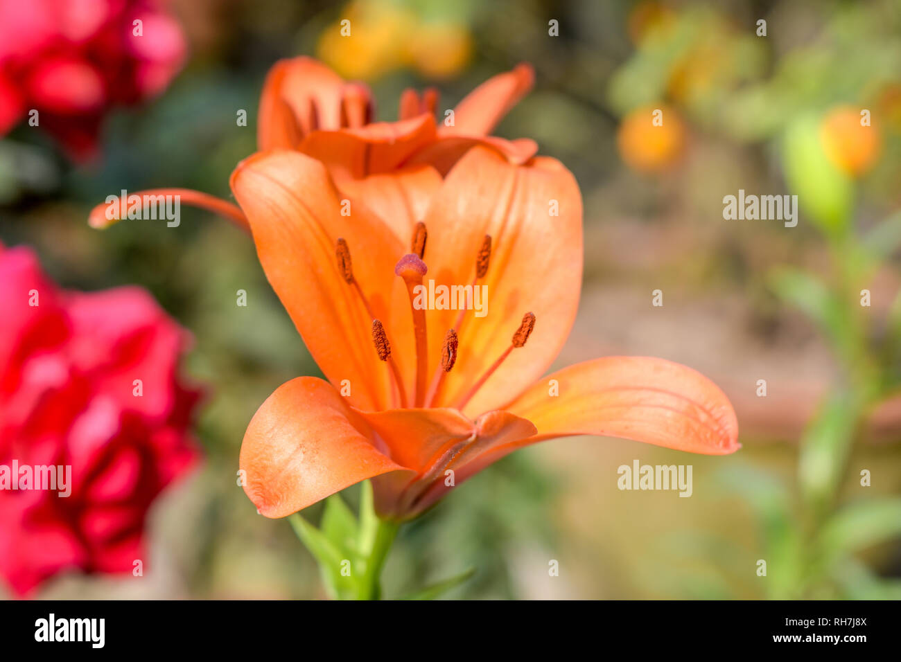 One Trumpet vine or trumpet creeper (Campsis radicans) flower, known as cow itch or hummingbird vine, in bloom with seeds and leaves, growing outdoors - Stock Image
