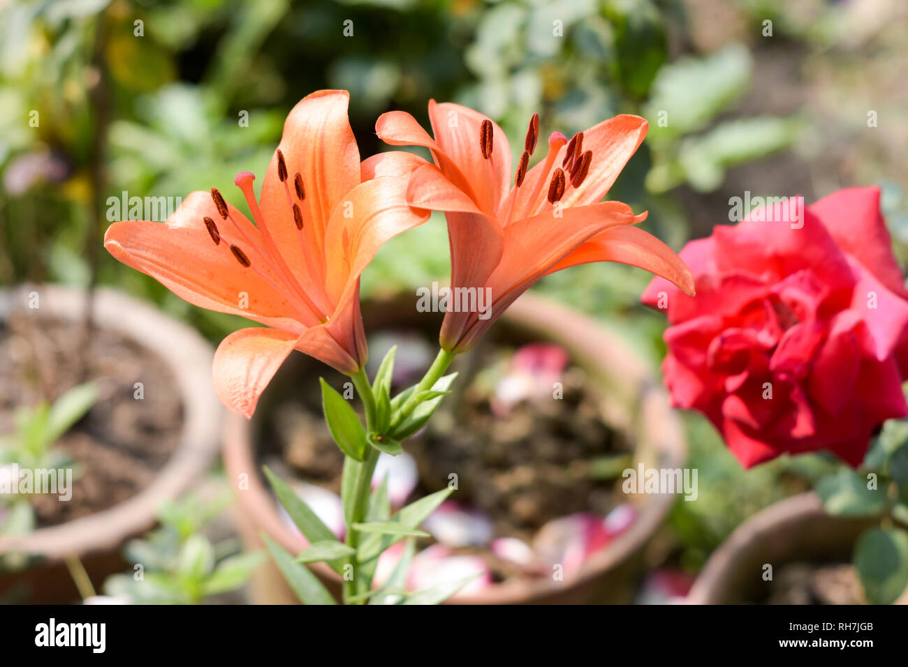 A branch of Trumpet vine or trumpet creeper (Campsis radicans) flower, known as cow itch or hummingbird vine, in bloom with seeds and leaves, growing  - Stock Image