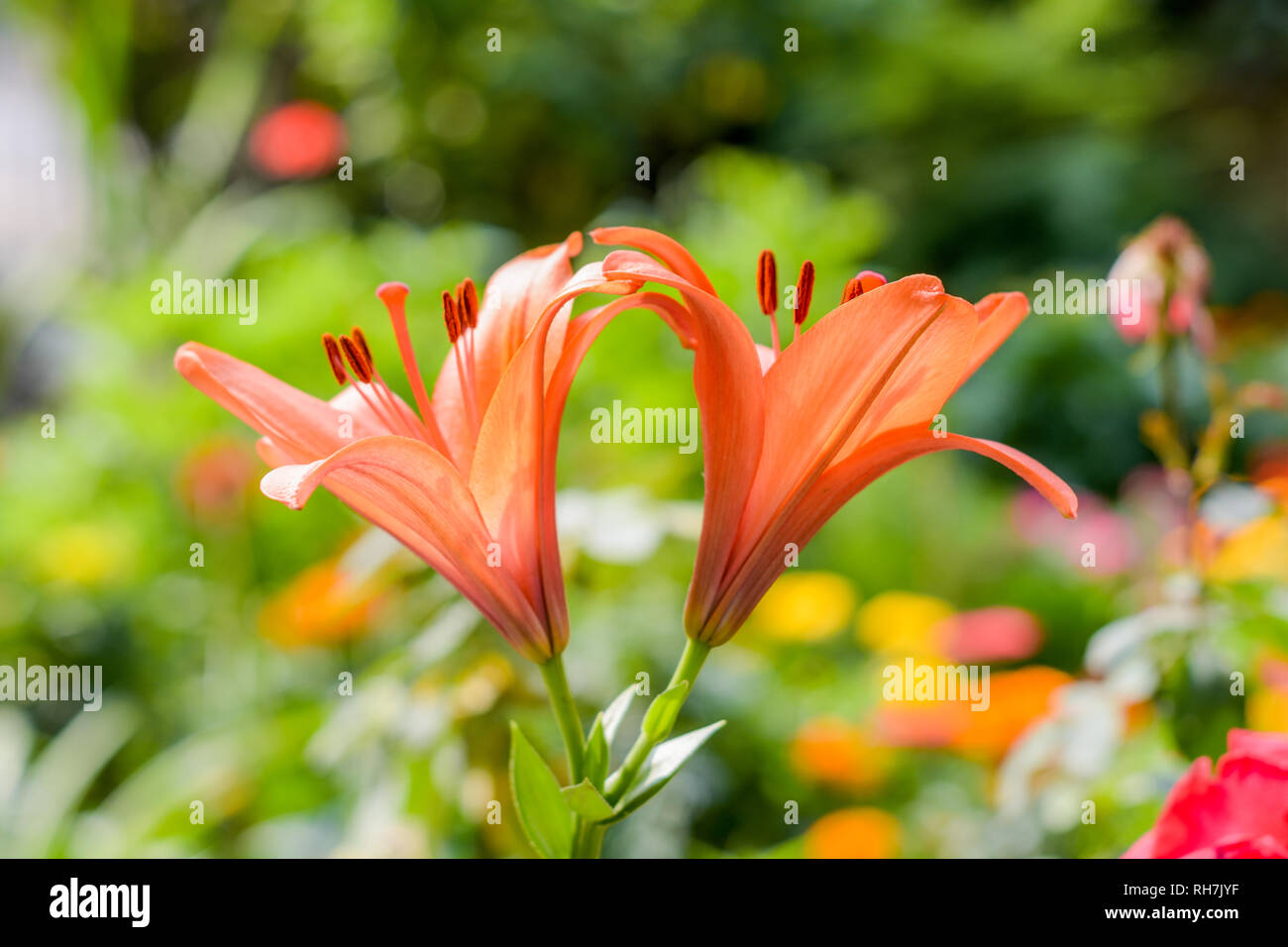 Two Trumpet vine or trumpet creeper (Campsis radicans) flower, known as cow itch or hummingbird vine, with seeds and leaves. Yellow bell tree in morni - Stock Image