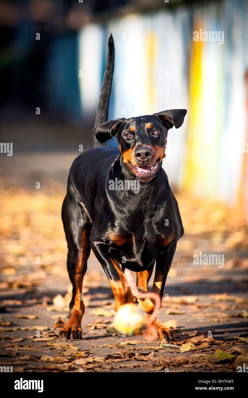 dobermann pinshcer is running after a ball on a sidewalk - Stock Image