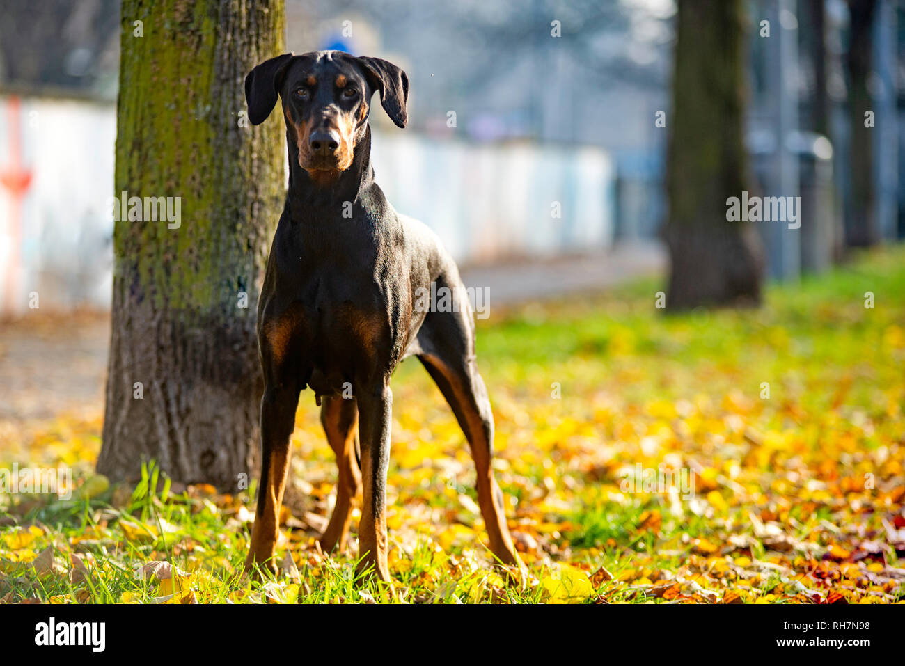 Dobermann pinscher is posing for the camera in an urban flowerbed - Stock Image