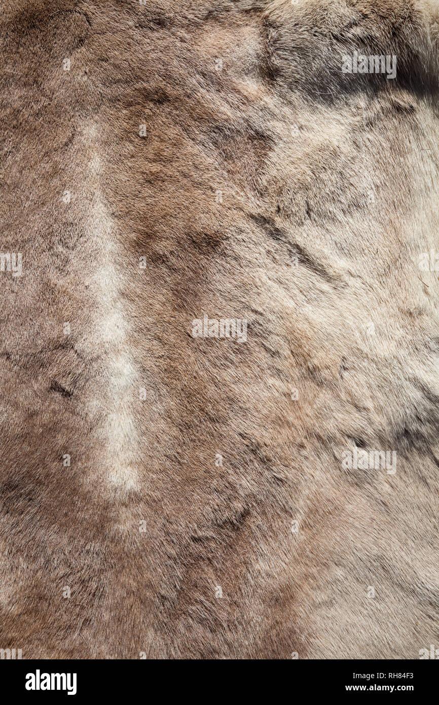 Reindeer pelt close-up texture - Stock Image