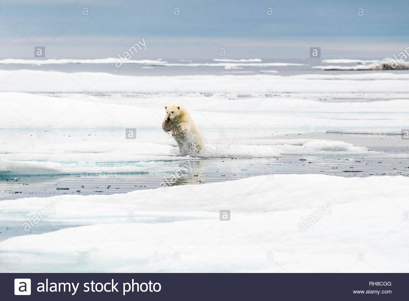 INCREDIBLE AERIAL images have captured 'climate refugee' polar bears hunting and running across the ever shrinking Arctic sea ice. The stunning pictur Stock Photo