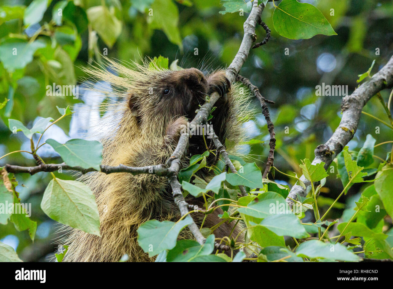 a porcupine in a tree encountered close the the lodge in Glacier Bay National Park Stock Photo