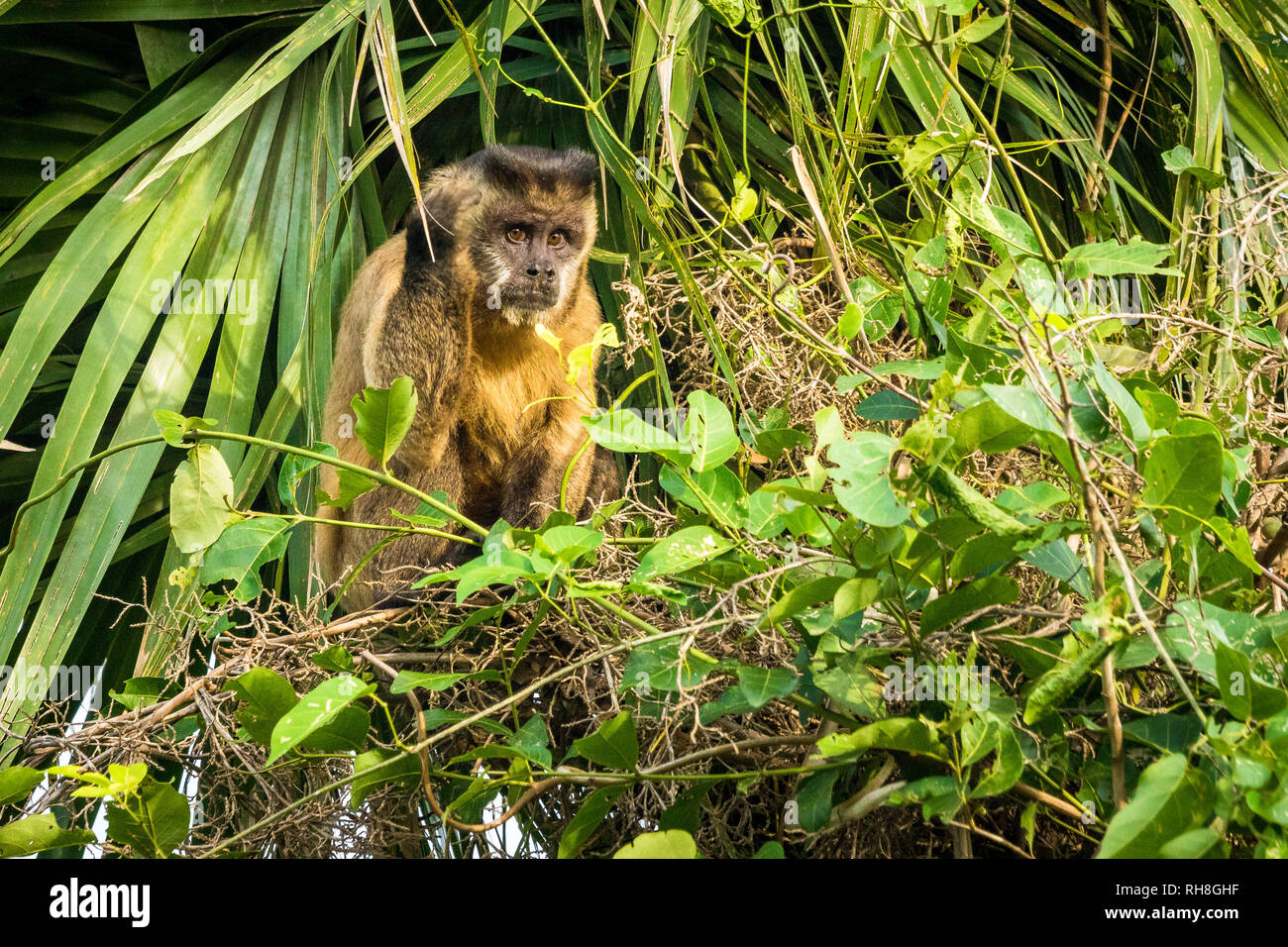 Capuchin monkey in palm tree in the Brazilian Pantanal Stock Photo