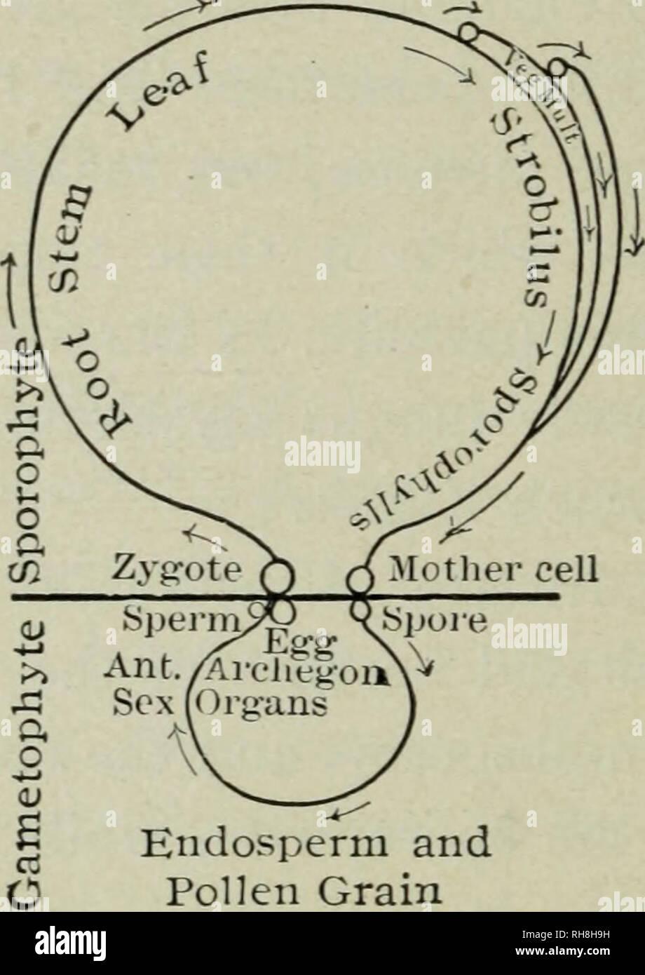 Botany for high schools  Botany  374 GENERAL MORPHOLOGY OF