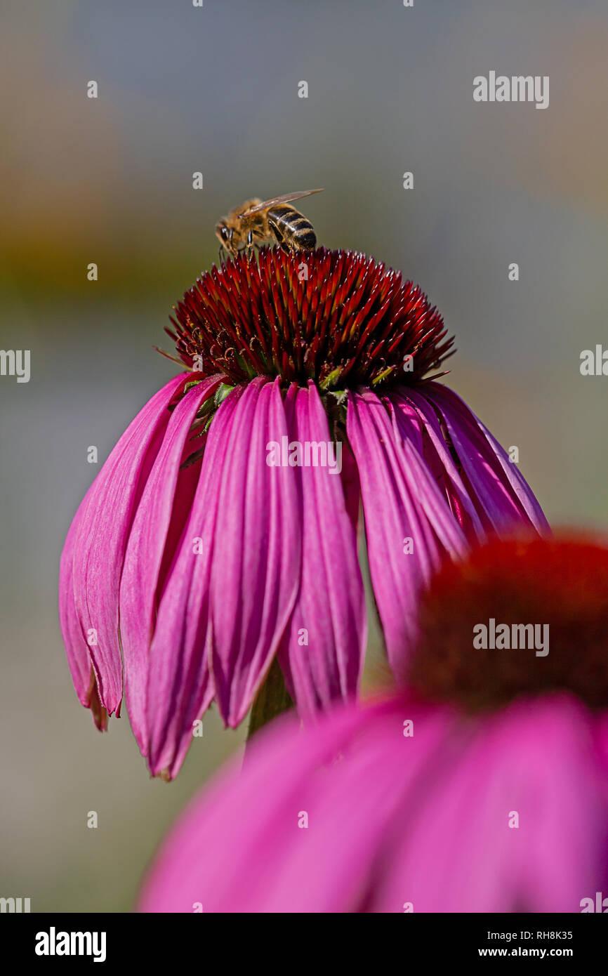 Purple coneflower echinacea purpurea, with bee - Stock Image