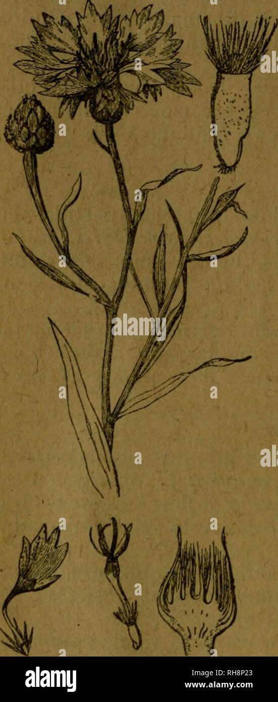 . Botánica descriptiva. Compendio de la flora española. Estudio de las plantas que viven espontáneamente en España y de las más frecuentemente cultivadas que tienen aplicaciones en medicina, agricultura, industria y horticultura. Plants. 400 COrvlPUESTAS lejo, Aciano, Aldiza, Liebrecilla, BoioncillOf Baleo cabezudo. N., Centro y E. Las flores se usaron contra las oftalmías. 8.403. C. lingulata Lag. [C. ¡Seusana Chaix).— 1^. Hojas inferiores si- nuado - dentadas; cabezuela grande, solitaria; brácteas involúcrales con margen negruzca y pestañas blancas; vilano 6 veces más corto que el aquenio. F Stock Photo