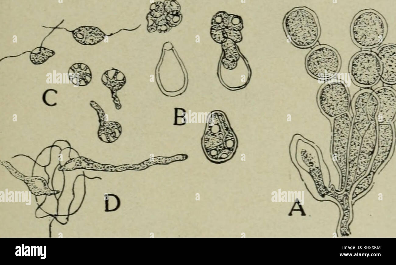 . Botany for high schools. Botany. Fig. 218. Ripe oospore of Peronospora aisinearum. Candida) is very common on the shepherd's purse, deforming the stems, leaves, flowers, and fruit. The mycelium is intercellular, and branched haustoria penetrate the cells. 419. Asexual stage.— The sporophores are short, are developed in great numbers, and crowded un- derneath the epidermis. These sporophores bear chains of spores (conidia; fig. 219), and the mass bursts through the epi- dermis, giving a white rusty appearance. The spores germinate by the formation of zoospores as in the grape downy mildew. 43 - Stock Image