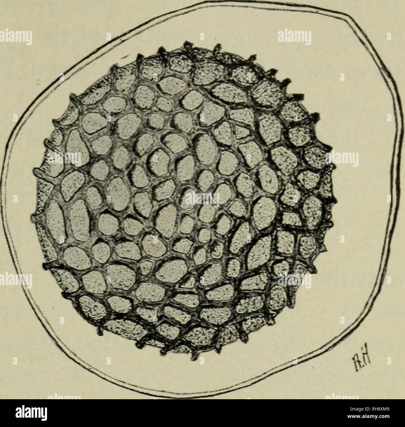 . Botany for high schools. Botany. FUNGI, WHITE RUST 259. Fig. 218. Ripe oospore of Peronospora aisinearum. Candida) is very common on the shepherd's purse, deforming the stems, leaves, flowers, and fruit. The mycelium is intercellular, and branched haustoria penetrate the cells. 419. Asexual stage.— The sporophores are short, are developed in great numbers, and crowded un- derneath the epidermis. These sporophores bear chains of spores (conidia; fig. 219), and the mass bursts through the epi- dermis, giving a white rusty appearance. The spores germinate by the formation of zoospores as in the - Stock Image