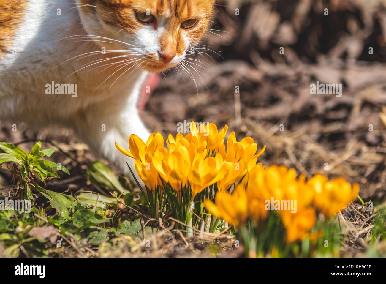 Yellow Blooming Crocuses And Red White Cute Cat Low Angle Sunrise Beautiful Spring Background With Copy Space Spring Sunny Day In The Forest Close Stock Photo Alamy