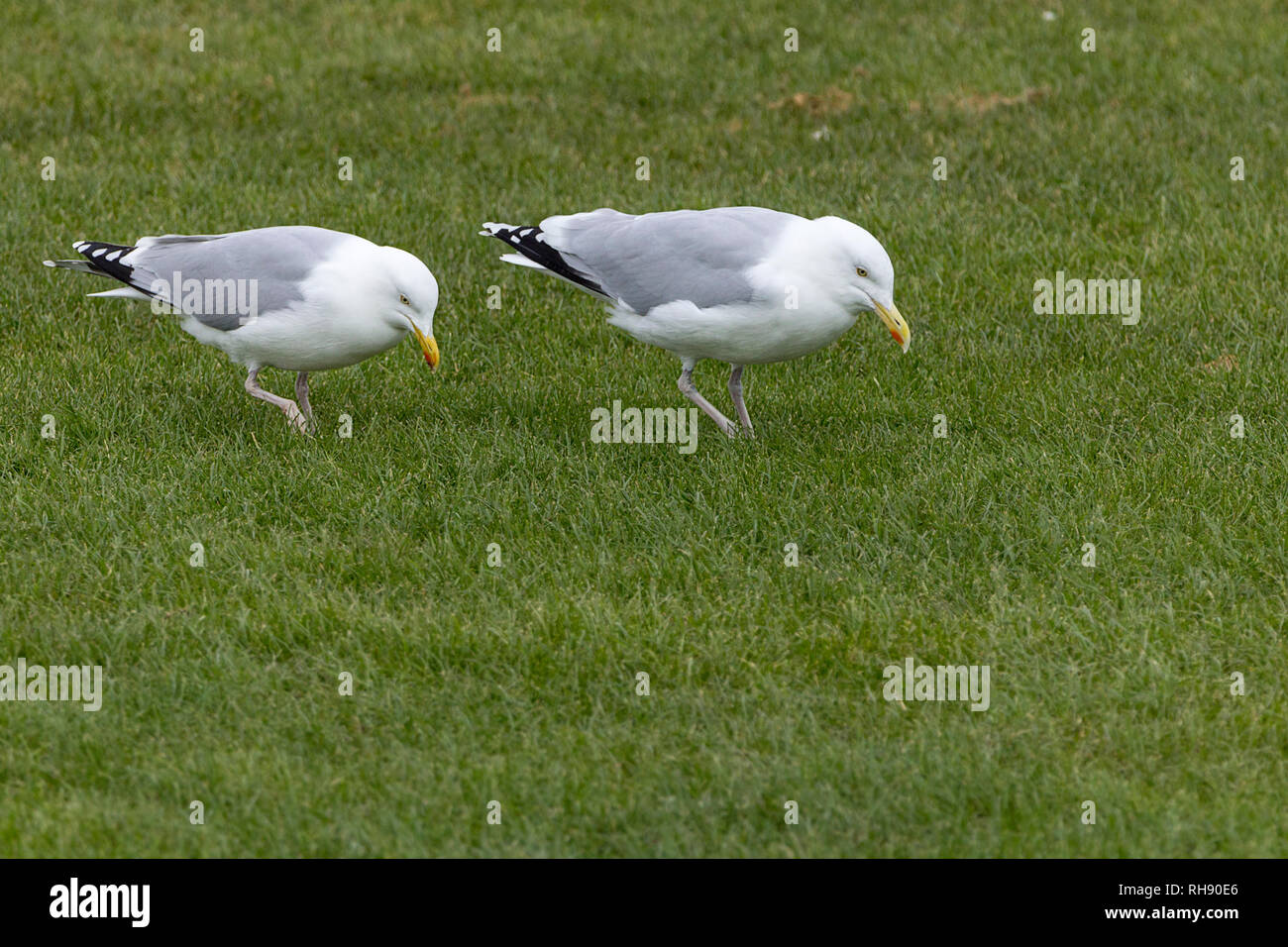 These Herring gulls (Larus argentatus) are dancing feet shuffling on the spot to attract worms thinking it may be rain worms will come to the surface. - Stock Image