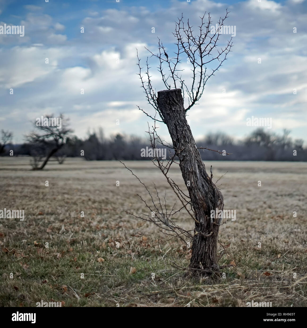 Tree cut and left for dead is springing new branches - Stock Image