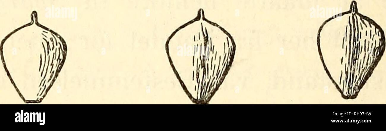 . Botanisk tidsskrift. Botany; Plants; Plants. 210 A.Br.), som jeg i Foraaret fandt i det lave Terræn nær Søerne, kunne tilføjes til den Liste, som Kølpin Ravn1) har givet over Karplanterne paa Jyllands Nordspids. Endelig kan jeg nævne, at Bulliarda aquatica L. voxede ved 2 af de mindre Søer i- rigelig Mængde. 3. Scirpus lacuster L. x Tabern aem ontani Gm el. I September 1895 traf jeg ved Tissø's sydvestlige Hjørne, hvor Hallebyaa løber fra Søen, en Del Bestande af Kogleax. De dannede større eller mindre, adskilte Pletter paa den flade Bred, og hver Plet gjorde Indtryk af at stamme fra et enke - Stock Image