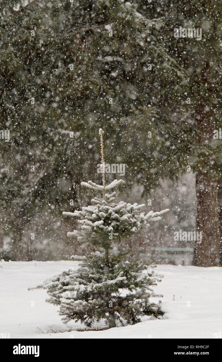Small spruces in snow fall on a winter day - Stock Image