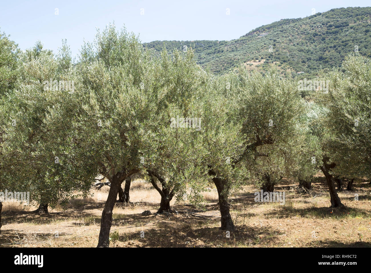 Plantation of olive trees - Stock Image