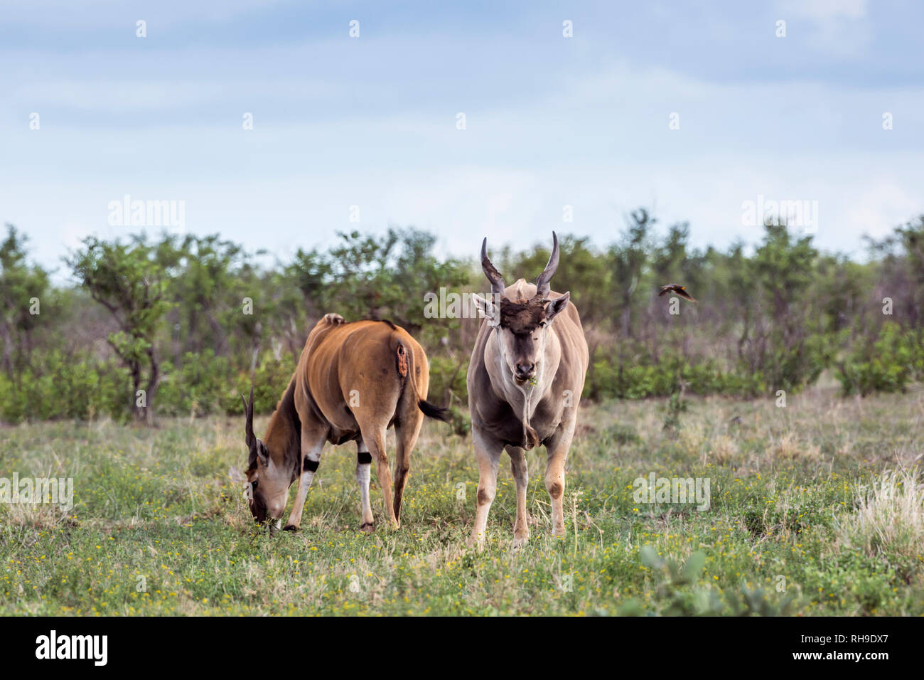 Two Common eland male in Kruger National park, South Africa ; Specie Taurotragus oryx family of Bovidae Stock Photo