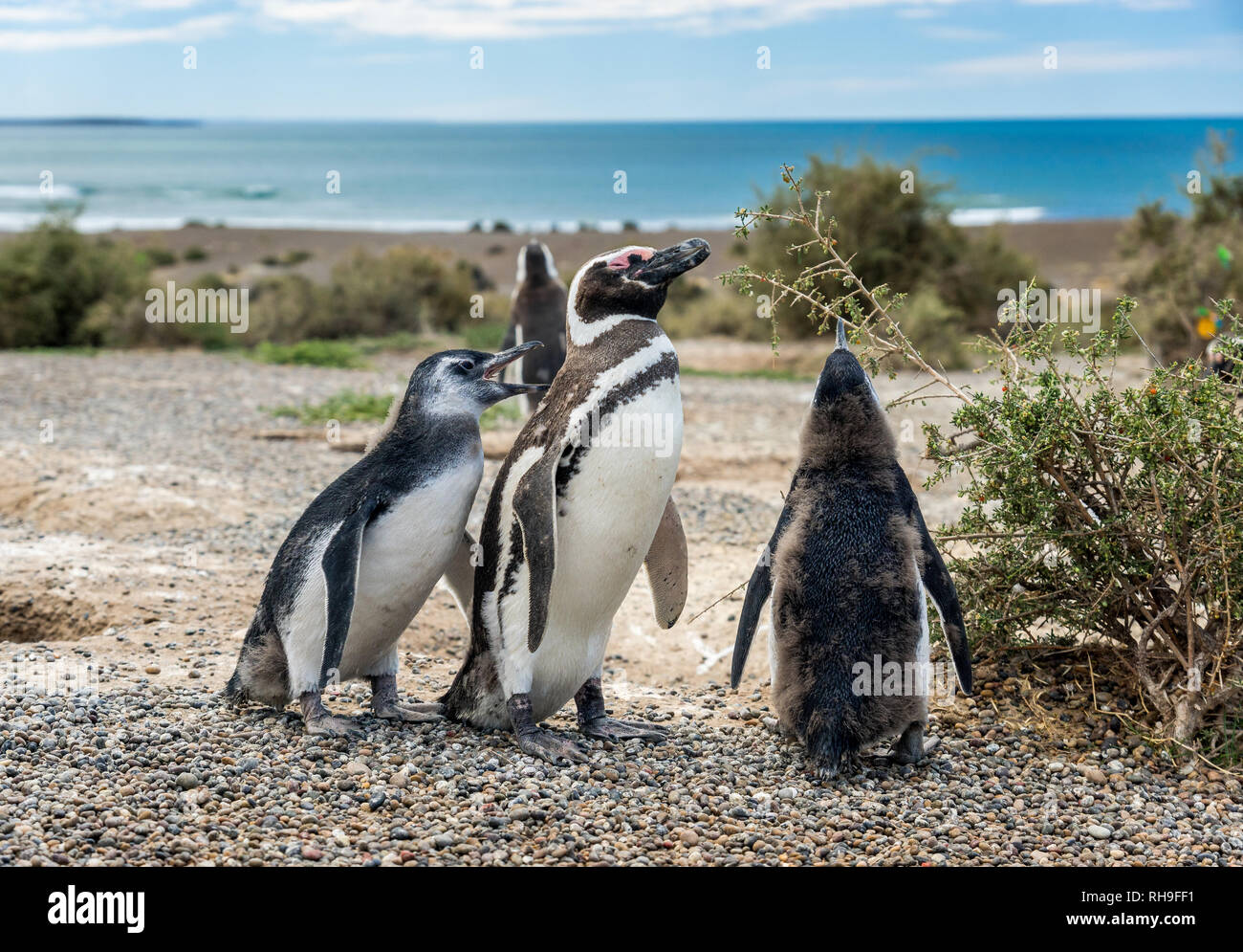 Punta Tombo is a peninsula into the Atlantic Ocean 110 km (68 mi) south of Trelew in Chubut Province, Argentina, where there is a large colony of Mage Stock Photo