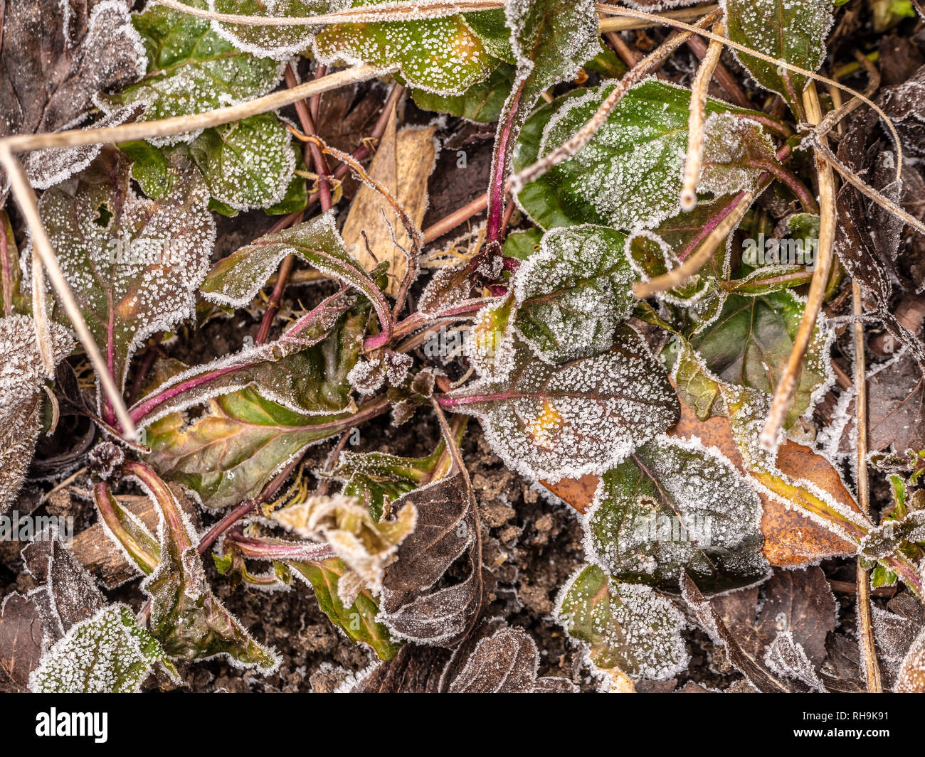Frozen Bergenia Cordifolia leaves. - Stock Image
