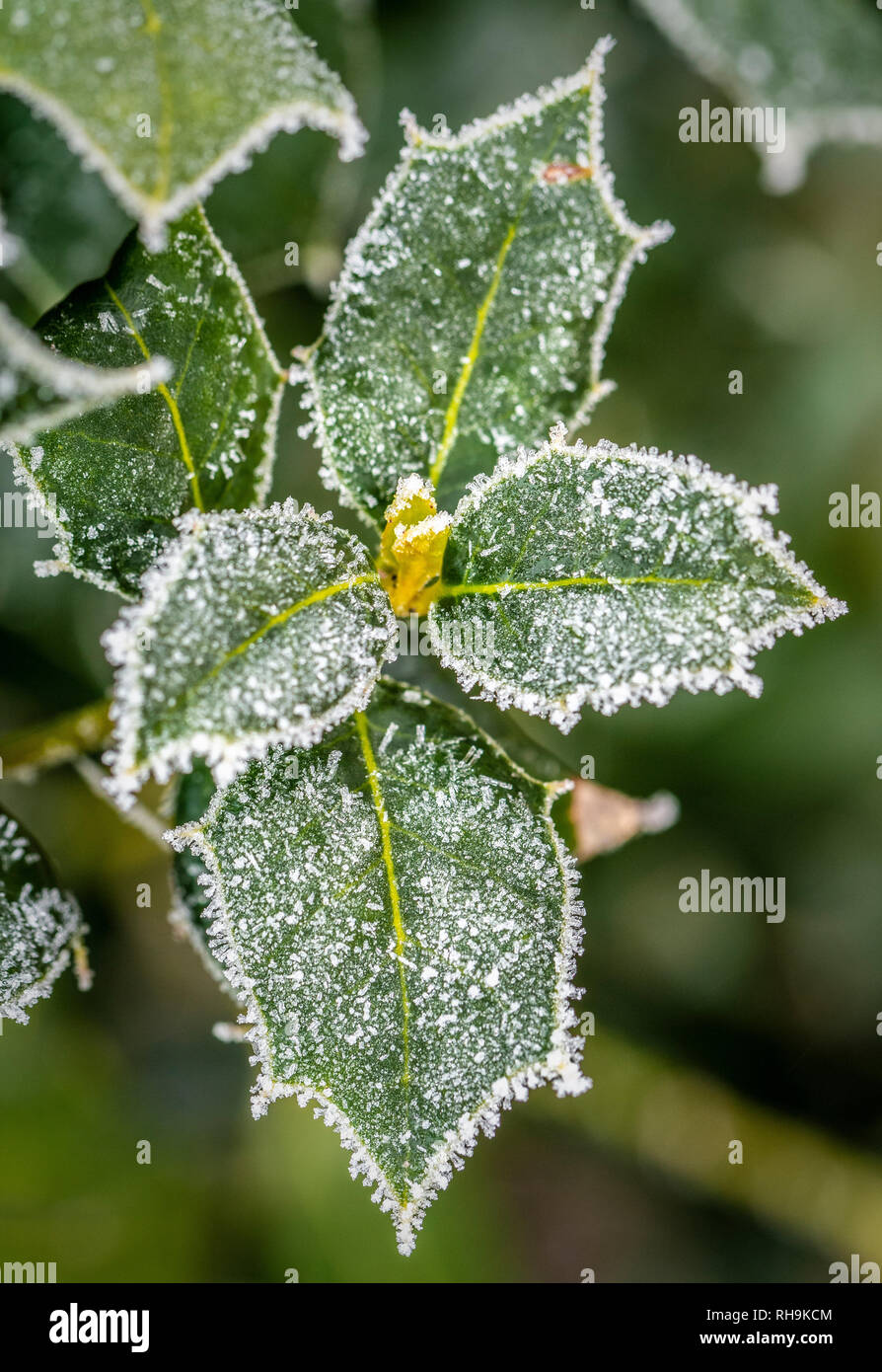 Holly leaves covered in frost. - Stock Image