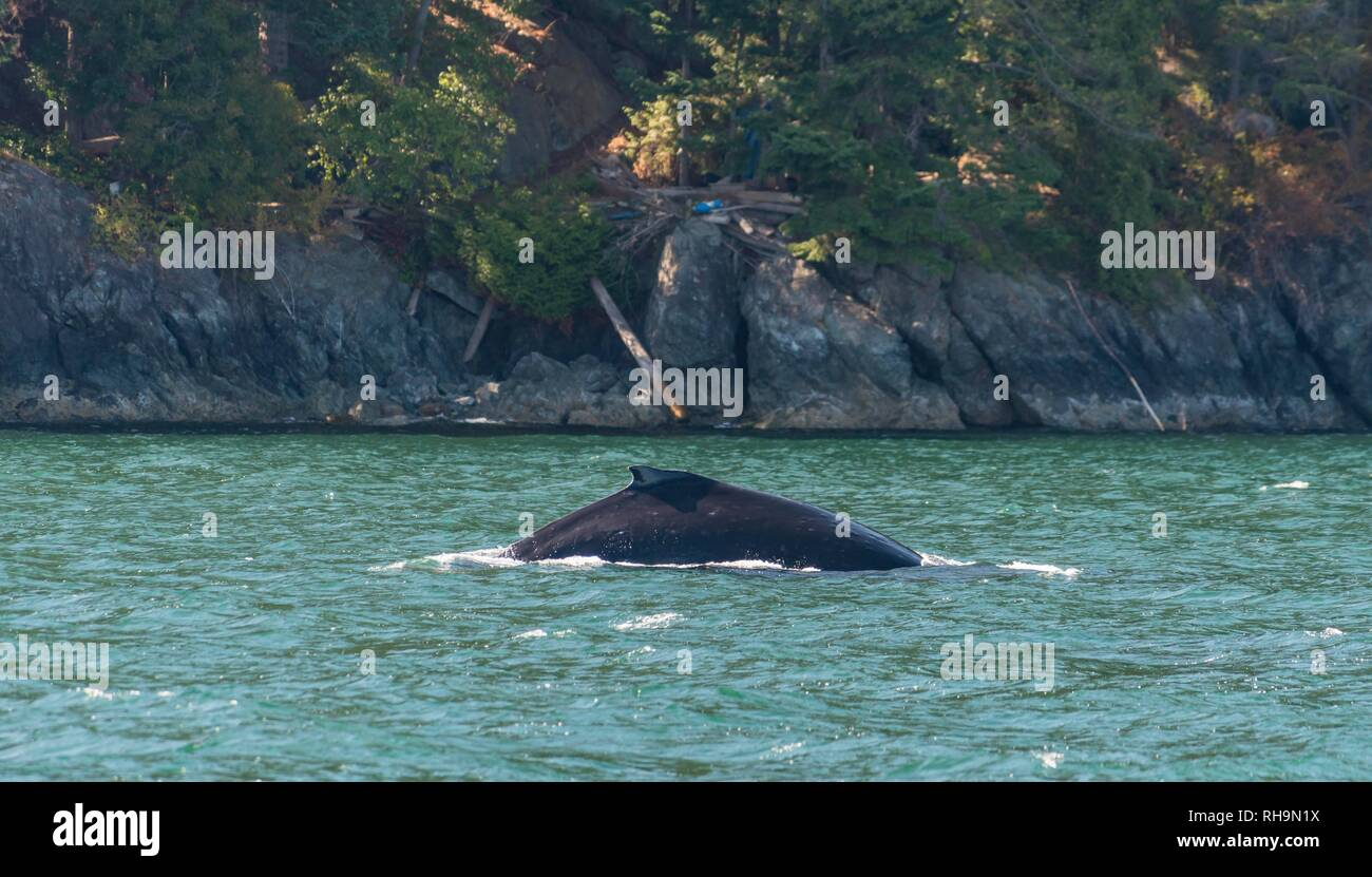 Dorsal fin, Humpback whale (Megaptera novaeangliae), Howe Sound, near Vancouver, British Columbia, Canada - Stock Image