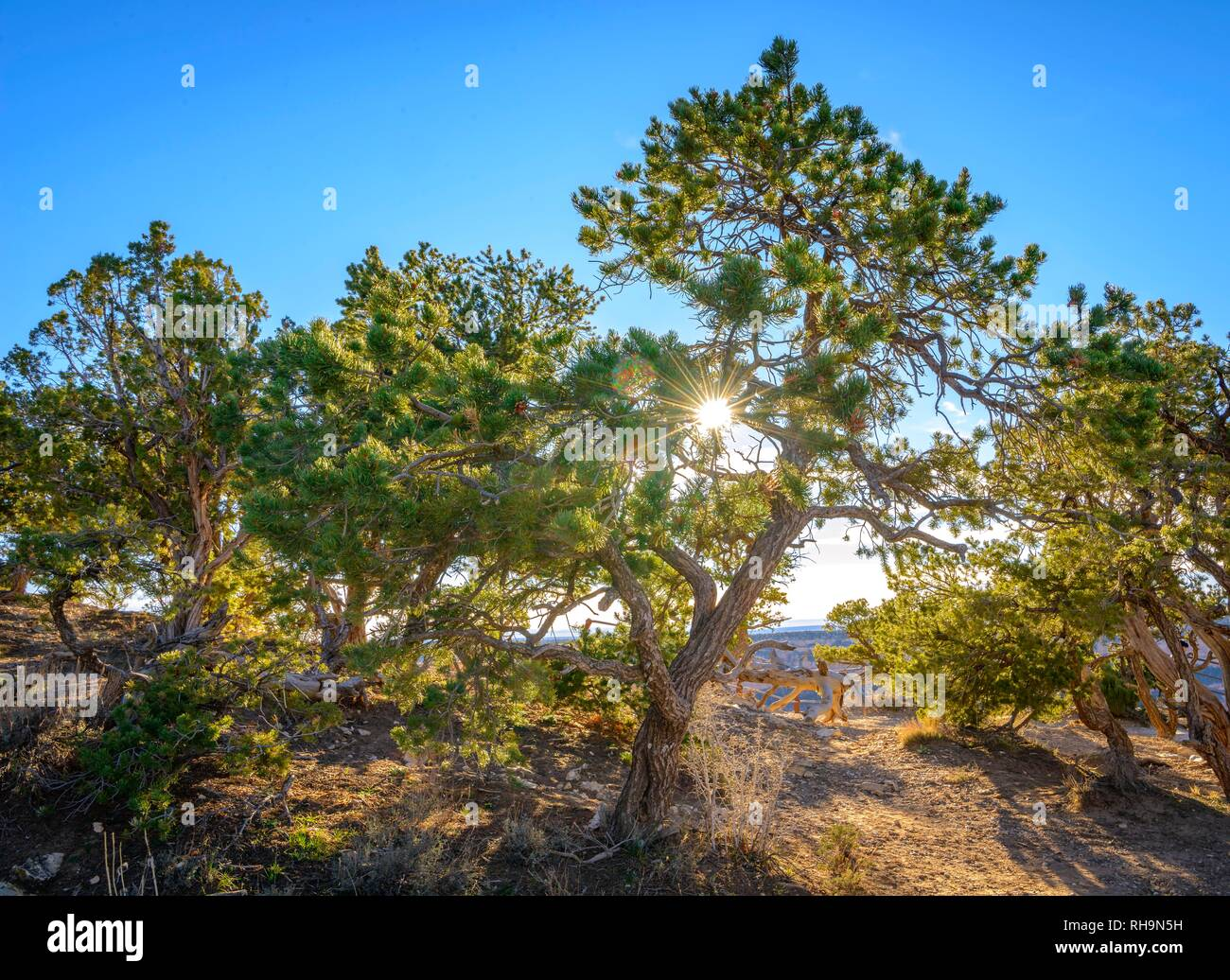 Solar star, Sun shines through the needles of a Pinyon-Pine, Piñon Pines or Pinyon Pines (Pinus) at the edge of the Grand - Stock Image