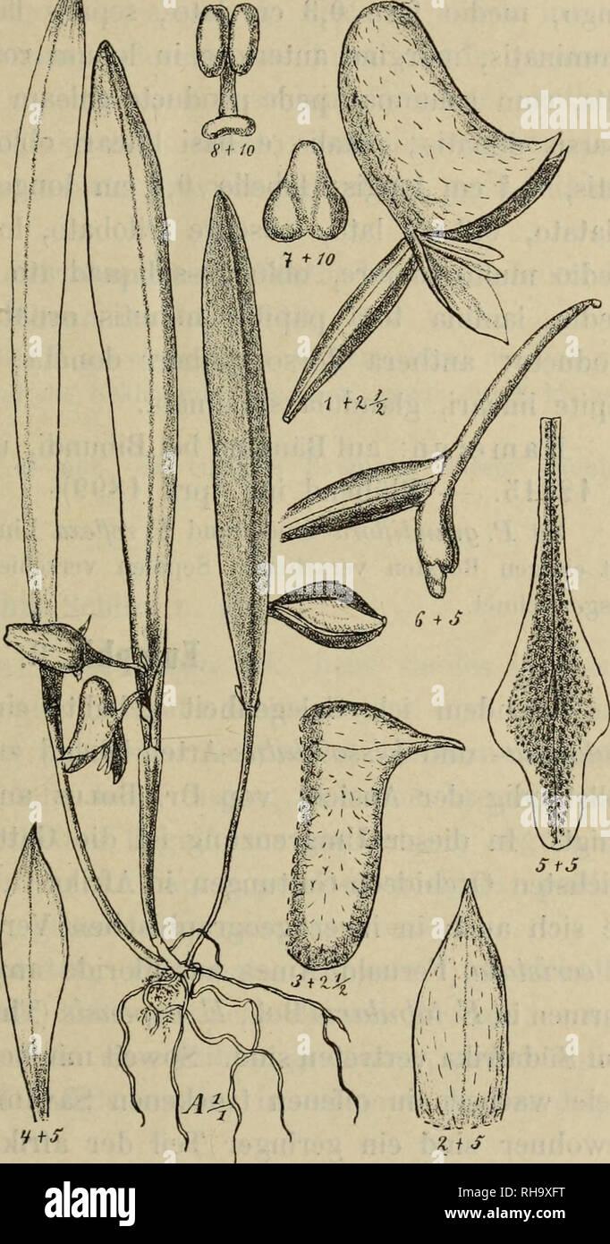 . Botanische Jahrbu?cher fu?r Systematik, Pflanzengeschichte und Pflanzengeographie. Botany; Plantengeografie; Paleobotanie; Taxonomie; Pflanzen. R. Schloclitnr, Orchidaccac africanac, imprimis Afiicae occidcnialis. 9 aribiis apice obliqiiis, apiciilalis, iitrinque glabris, textura coiiaceis, 10 —12 cm longis, medio fere 1,3—2,2 cm latis; scapo erecto, tereli glabro, folia vnlgo ex- cedente vaginis paucis, ancipitibus, arete vaginantibiis acuminatis tecto, racemo viilgo simplici, interdmii 1—2-ramoso, subdense plurifloro; bracteis lanceolatis setaceo-acuminatis, patentibus patulisve, ovario be - Stock Image