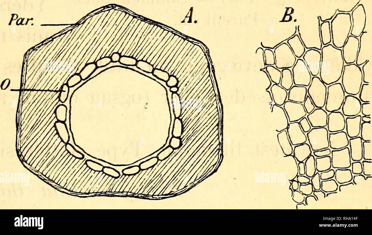 . Botanisk tidsskrift. Botany; Plants; Plants. 119 urimeligt; den Luftmængde, de indeholde, er for Intet at regne mod den, der findes i Luftvævet. Lemna-Arteme slutte sig, saaviclt man kan skjønne efter Hegelmai er s Beskrivelse (14,17 f.), til disse Former. Frø- skallen er dannet af et ret tykt, løst Luftvæv med forkorkede Cellevægge. 2. Sium angustifolium-Typen. Sium angustifolium (Fig. o). Delfrugternes Skal er tyk og næsten af samme Tykkelse overalt, undtagen paa den Side, hvor de to Delfrugter støde op til hinanden. Yderst findes nogle Lag sammenfaldne Pa- renkymceller , der ere fyldte me Stock Photo
