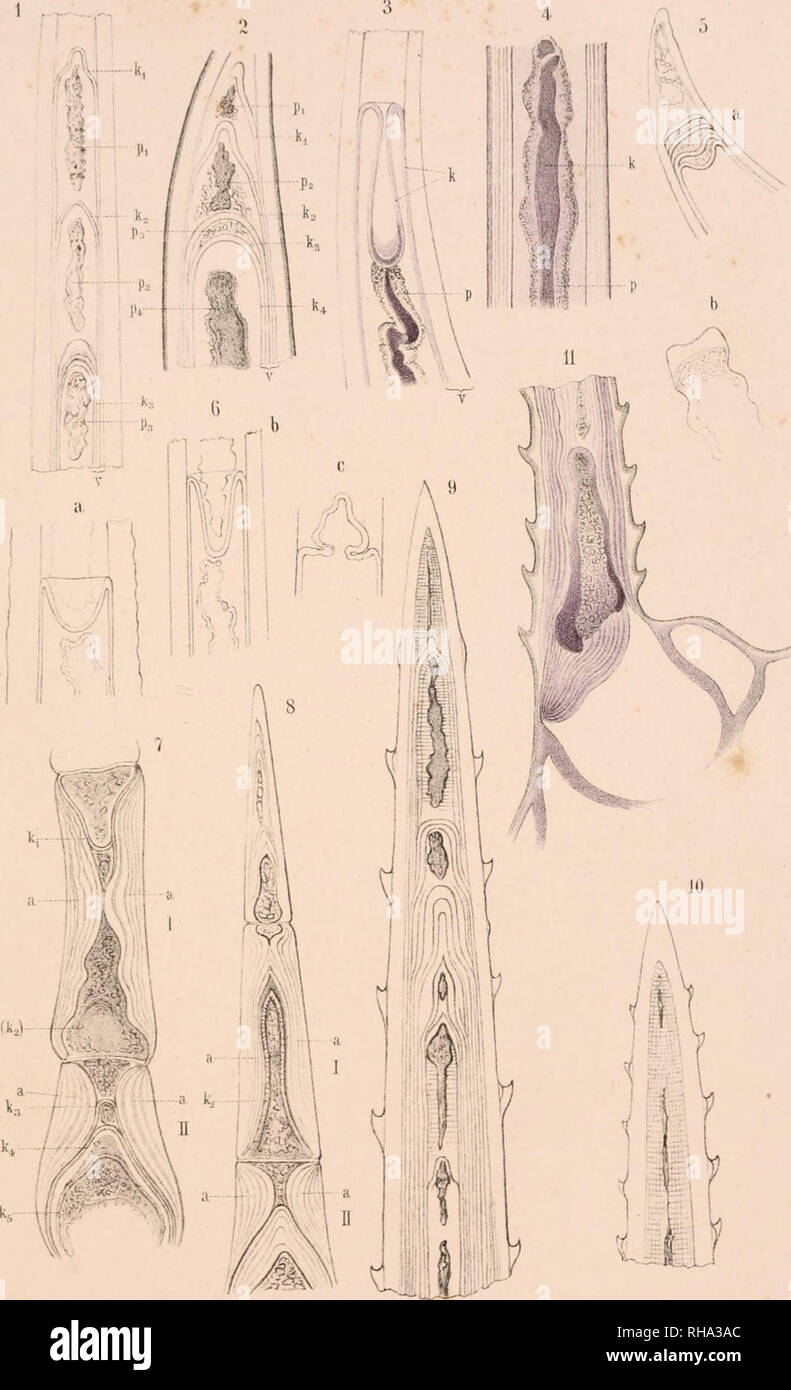 . Botanisches Zentralblatt; referierendes Organ für das Gesamtgebiet der Botanik. Botany; Botany. Bolaii.l>iilrall)lalll{.I.XXXYll 1889. Tal'. 1.. FG.KoMde], ;rt.isi.. Anst ,v Th.Pischur. Cassi;J. Please note that these images are extracted from scanned page images that may have been digitally enhanced for readability - coloration and appearance of these illustrations may not perfectly resemble the original work.. Botanischer Verein, Munich; Botaniska sällskapet, Stockholm; Association internationale des botanistes; Deutsche Botanische Gesellschaft. Jena [etc. ] G. Fischer [etc. ] Stock Photo